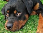 NUTEYLA - Rottweiler Maschio (1 anno 11 mesi)