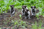 Foto Cane da ferma tedesco a pelo duro