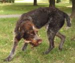Foto Cane da ferma tedesco a pelo ruvido