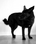 Laika - Norsk elghund nero (10 anni)