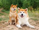 Un Shiba et un Akita - Akita Inu