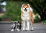 Un Akita Inu debout à côté de deux adorables chatons en extérieur