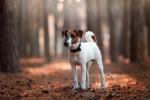 Foto Fox terrier a pelo liscio