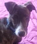 Max , el rey de la casa - Levriero spagnolo Maschio (3 mesi)