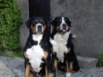 grand bouvier suisse - Grande bovaro svizzero