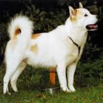 Foto Canadian Eskimo Dog