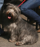 Foto Irish Glen of Imaal Terrier