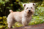 Wheaten - Irish Glen of Imaal Terrier Maschio