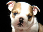Fudge - Old English Bulldog Maschio (1 mese)