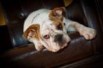 Jazz - Old English Bulldog Maschio