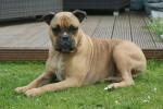 Loeb - Old English Bulldog Maschio