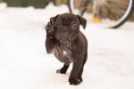 Foto Old English Bulldog Maschio