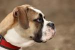 Foto Old English Bulldog