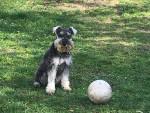 Odyssey - Schnauzer nano Maschio (1 anno)