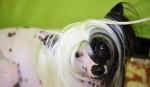 Clever - Cane nudo cinese Maschio (1 anno 4 mesi)