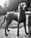 M'TCHAI-ICI De Gray Ghost de la Chevalerie - Bracco di Weimar Maschio (2 anni 7 mesi)