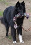 Gajeel des Perles Noires - Groenendaelè Maschio (4 anni)