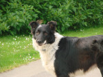 Never - Border Collie (2 anni)