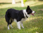 Foto Border Collie