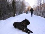 Roméo et la neige!!! - Cane Corso