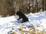 Fesses dans la neige - Cane Corso
