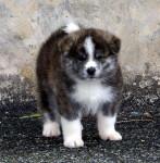 AKITA - Akita-Inu Hatchy Maschio (3 mesi)