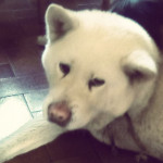 vanille - Akita-Inu Hatchy (10 anni)