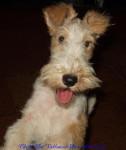Chipie De Vallauris Des Astucieux - Fox Terrier a pelo ruvido