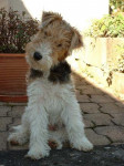 Thérapie de Vallauris des Astucieux à 3 mois - Fox Terrier a pelo ruvido (3 mesi)