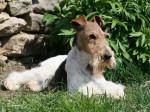 Caruso des Fox d'Elodie Fox Terrier à poil dur - Fox Terrier a pelo ruvido
