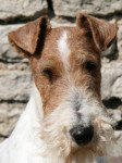 Bluma Fox Terrier à poil dur - Fox Terrier a pelo ruvido
