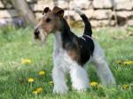 Caruso des Fox d'Elodie - Fox Terrier a pelo ruvido