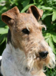 Fox Terrier à poil dur : Caruso des Fox d'Elodie - Fox Terrier a pelo ruvido