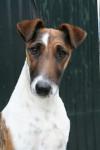 Angie de Camp Rémy - Fox Terrier a pelo ruvido