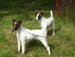 Fox terriers à poil lisse de Camp Rémy - Fox Terrier a pelo ruvido