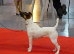 Angie de Camp Rémy : fox terrier à poil lisse - Fox Terrier a pelo ruvido