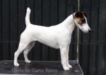 Cérès de Camp Rémy : Fox terrier à poil lisse - Fox Terrier a pelo ruvido