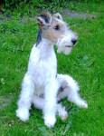 GWENNKI DU HALLIER D'ELTINOR, Fox Terrier - Fox Terrier a pelo ruvido