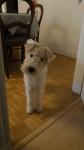 Nando - Fox Terrier a pelo ruvido Maschio (1 anno 9 mesi)