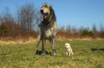 irish wolfhound - Levriero Irlandese