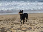 Holly, femelle Berger Holllandais à la mer - Pastore Olandese