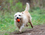 Foto Norfolk Terrier