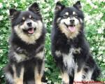 chien finnois de Laponie - Amalia d'ARVELA SUOMEN et SASKATCHEWAN TRAIL'S Pataud appartenant à l'éle - Cane Finnico di Lapponia