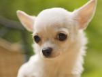 baxter - Chihuahua Maschio (3 mesi)