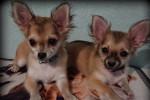 Foto Chihuahua (4 mesi)