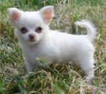 Linda - Chihuahua (3 mesi)