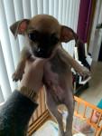 Foto Chihuahua Maschio (2 mesi)