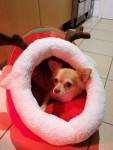 Lilou - Chihuahua (5 anni)