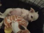 léo - Chihuahua Maschio (3 mesi)