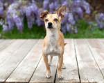 Foto Chihuahua
